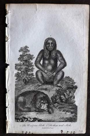 Linnaeus & Siblly C1800 Antique Print. Sloth