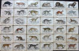 Jardine, William C1840 Lot of 36 HCol Prints. Big Cats