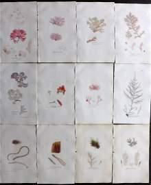 Sowerby, James 1846 Lot of 12 HCol Seaweed Prints