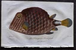 Linnaeus & Bloch 1806 Hand Col Fish Print. Trunk Fish