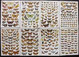 Gordon, W. J. C1900 Lot of 8 Antique Moth Prints
