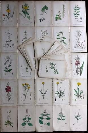 Sowerby, James C1870 Lot of 80 HCol Botanical Prints