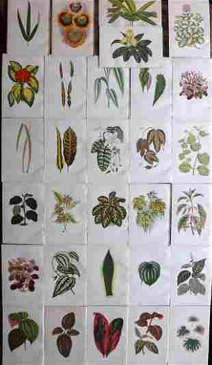 Hibberd, Shirley 1891 Lot of 30 Botanical Prints