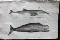 Schinz & Brodtmann 1827 Folio Print. Whales