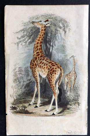 Cuvier, Baron 1854 Hand Color Print. Giraffe