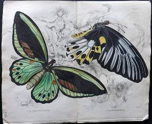 Jardine, William 1837 Hand Col Print. Double Butterfly