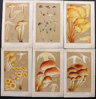 Cooke, Mordecai 1880's Lot of 6 Mushroom Prints