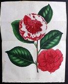 Paxton, Joseph 1834 HC Double Botanical. Camellia