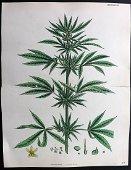 Sowerby, James 1869 Hand Col Print. Cannabis Sativa