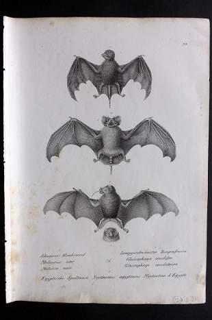 Schinz & Brodtmann 1827 Folio Print. Bats 20