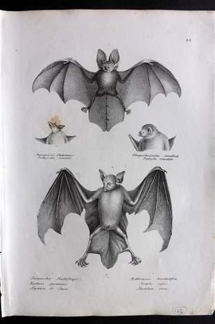 Schinz & Brodtmann 1827 Folio Print. Bats 22