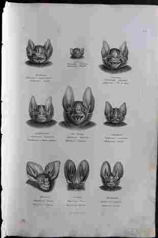 Schinz & Brodtmann 1827 Folio Print. Bats Heads 24