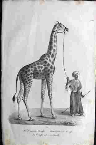 Schinz & Brodtmann 1827 Folio Print. Giraffe 122