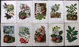 Boulger, George 1888 Lot of 10 Fruit Prints. 1st Ed.