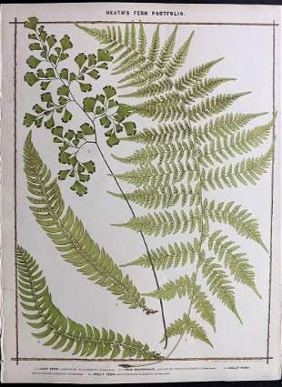Heath, Francis 1885 Large Fern Print. Maidenhair etc