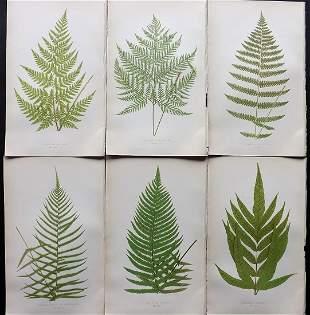 Lowe, Edward 1857 Lot of 6 Antique Fern Prints