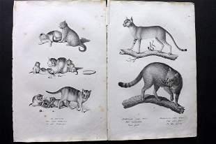 Schinz & Brodtmann 1827 Pair of Prints. Cats