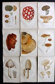 Cooke, Mordecai 1862 Lot of 9 Mushroom Prints