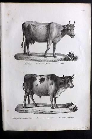 Schinz & Brodtmann 1827 Folio Print. Cattle