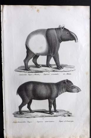 Schinz & Brodtmann 1827 Print. American & India Tapir