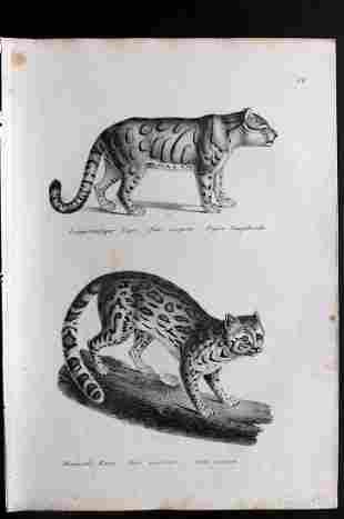 Schinz & Brodtmann 1827 Print. Extinct Caspian Tiger