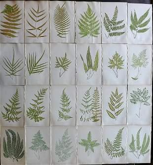 Lowe, Edward 1857 Lot of 24 Antique Fern Prints