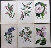 Paxton, Joseph 1830's Lot of 6 HCol Botanical Prints