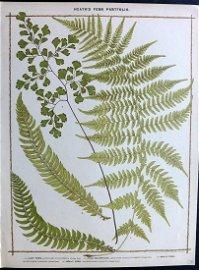Heath, Francis 1885 Large Fern Print. Lady, Holly Fern