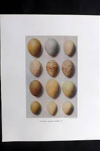 Dresser, Henry 1910 Bird Egg Print. Phasianus etc