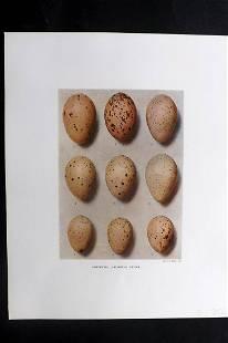 Dresser, Henry 1910 Bird Egg Print. Porphyrio