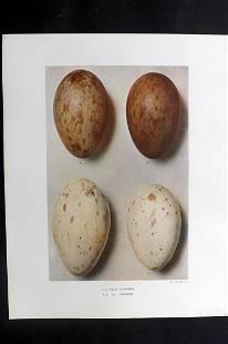 Dresser, Henry 1910 Bird Egg Print. Grus Communis