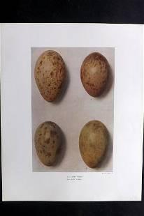 Dresser, Henry 1910 Bird Egg Print. Grus Virgo