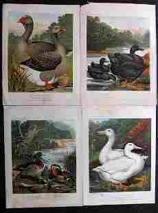 Ludlow & Wright C1880 Lot of 4 Duck Prints. Cassell