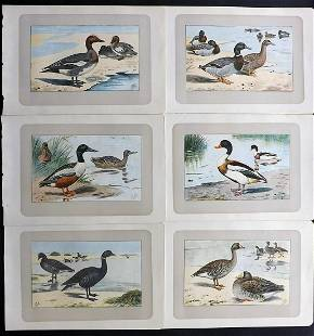 Mahler, P. 1907 Lot of 6 Antique Bird Prints