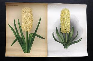 Florilegium Harlemense 1901 Pair Botanicals. Hyacinths