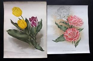 Florilegium Harlemense 1901 Pair Botanicals. Tulips