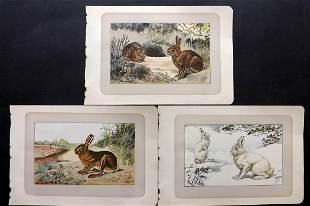 Mahler, P. 1907 Lot of 3 Antique Rabbit, Hare Prints