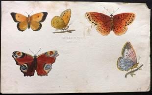 Original Art 19th Cent. British Butterflies,