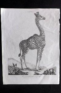 Wilkes, John 1800 Antique Print. Giraffe
