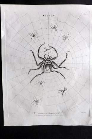 Wilkes, John 1795 Antique Print. Barbary Spider