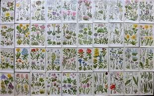 Hoffmann, Julius 1903 Lot of 40 Botanical Prints