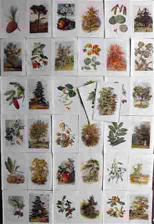 Boulger, George 1907 Lot of 38 Botanical Tree Prints