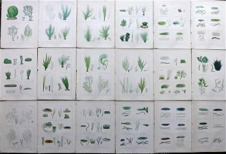 Gatty, Mrs 1863 Lot of 18 Antique Seaweed Prints