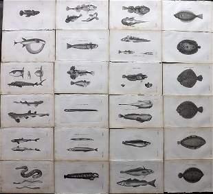 Pennant, Thomas 1812 Lot of 24 Fish Prints