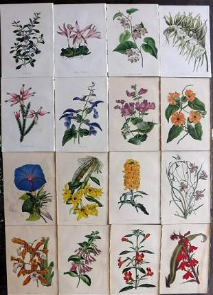 Paxton, Joseph 1830's Lot of 16 HCol Botanical Prints