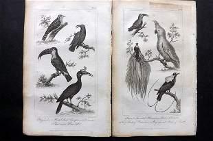 Buffon, Comte de 1821 Pair Bird Prints. Toucan Cockatoo