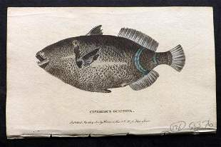 After George Edwards C1800 Hand Col Fish Print