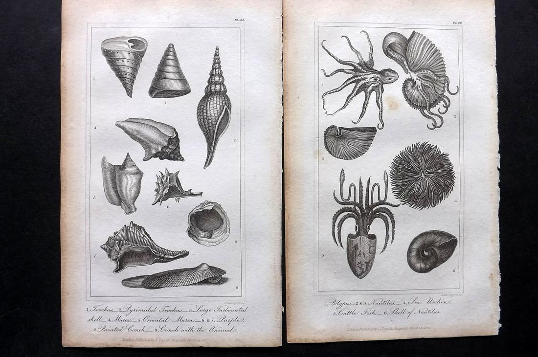 Buffon, Comte de 1821 Pair of Prints. Shells, Sea Life