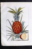 Ward, Artemas 1911 Botanical Print. Pineapple Fruit
