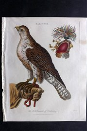 Wilkes, John 1803 Hand Col Bird Print. Falconry